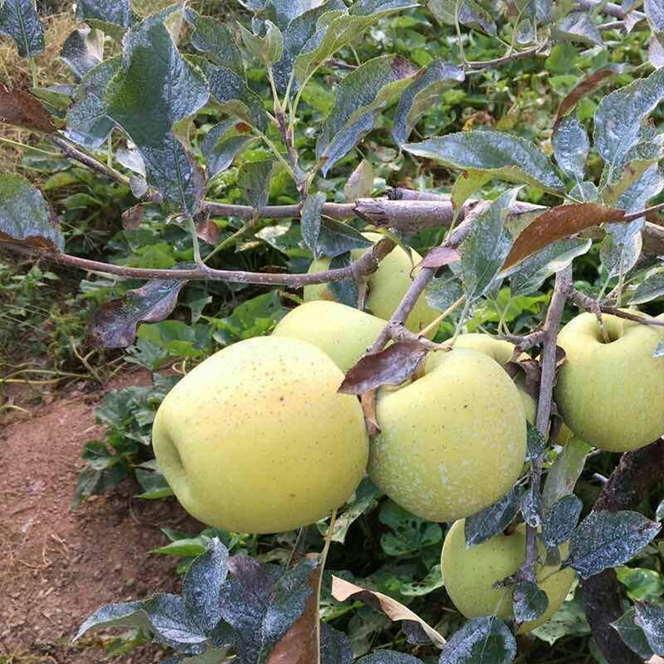Organic Golden Delicious 80 Specifications