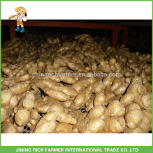 Verduras frescas Jengibre chino Jengibre fresco 150g hasta 5kg / 10kg Cartón