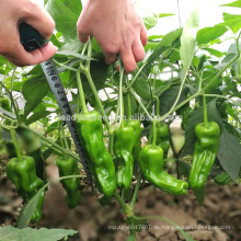 P32 Jubar frühen Reife große Größe dünne Haut grüne Paprika Samen Hybrid