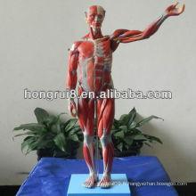 Modèle de mannequin mannequin, modèle anatomique musculaire ISO Deluxe