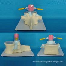 Modèle de pédagogie de l'anatomie de la vertébrale spinale humaine pour l'enseignement (R140102)