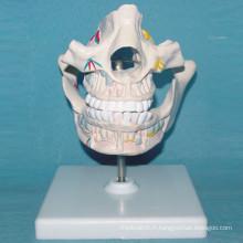 Modèle d'anatomie de la série cavité de la bouche humaine pour l'enseignement (R080105)