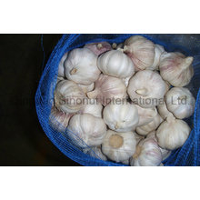 Fresh Garlic of Good Price