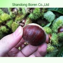 Exportación de chestnut fresco profesional a Medio Oriente