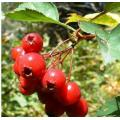 Ekstrak Herbal Organik HAWTHORN BERRY PEBENIFITS