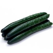 HCU11 Xiang 21 a 23 cm de comprimento, sementes de pepino híbrido F1 chinês em sementes de hortaliças