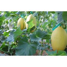 HSM08 Jiti Long oval dourado amarelo F1 híbrido hami sementes de melão, melão