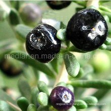 Medlar GMP Manufacture Échantillon Free Black Wolf Berry