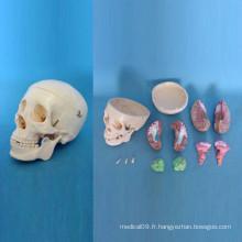 Modèle de squelette de crâne anatomique à ossature humaine (R050114)