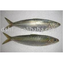 Pescado de sardina congelado, pescado de sardina congelado, para la sardina enlatada,