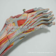 2013 HOT SALE muscles médicaux du pied avec les vaisseaux principaux et les nerfs anatomie du pied