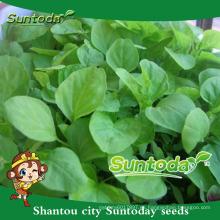 Suntoday vegetal chino F1 orgánico cos imágenes orgánicas a granel semillas de amaranto verde (32001)