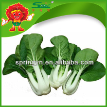 Cultivo orgánico de verduras frescas pakchoi repollo