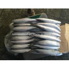 Замороженная рыба тихоокеанской скумбрии