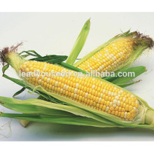 MCO04 Zai sementes vegetais amarelas e brancas do milho doce para vendas