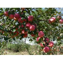 2015 Bright Red Gala Apfel von Shandong Boren