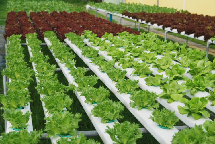 Flat Hydroponics for Vegetables