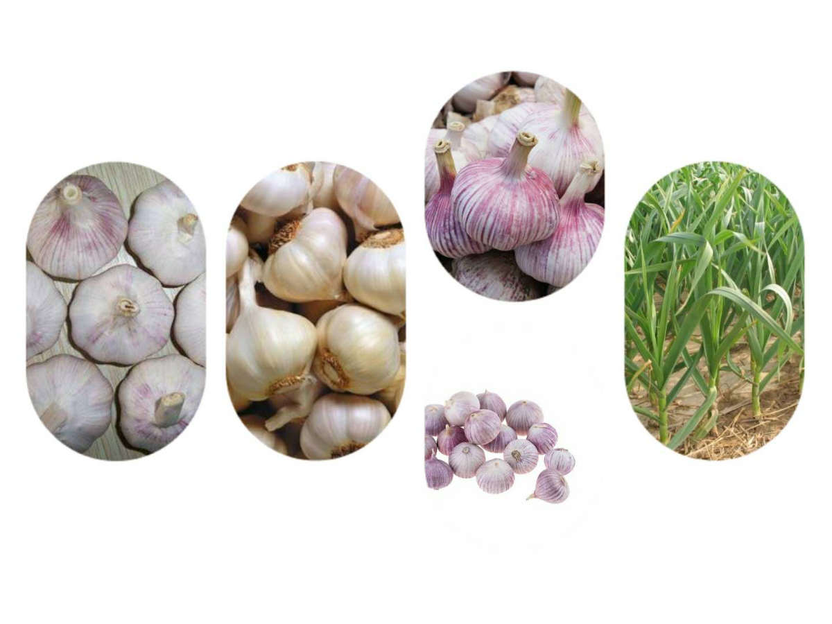 Fresh Garlic With Competitive Price