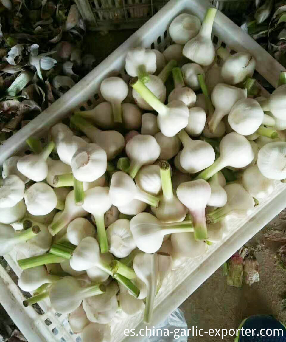 Wholesale New Crop Fresh Garlic price