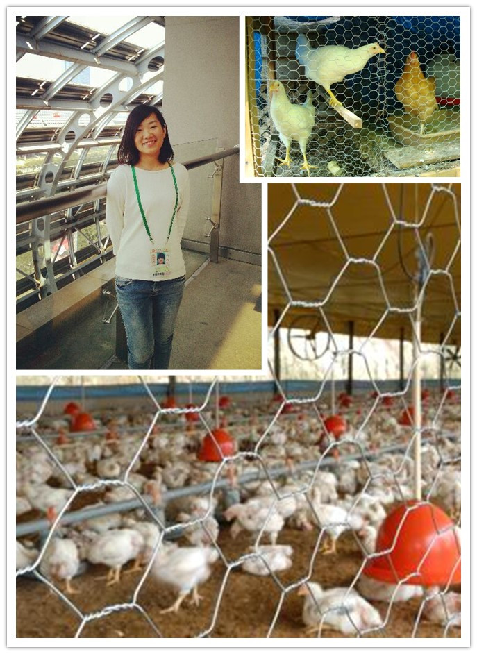 Wire Netting PVC Coated and Galvanized Coated for Chicken Wire
