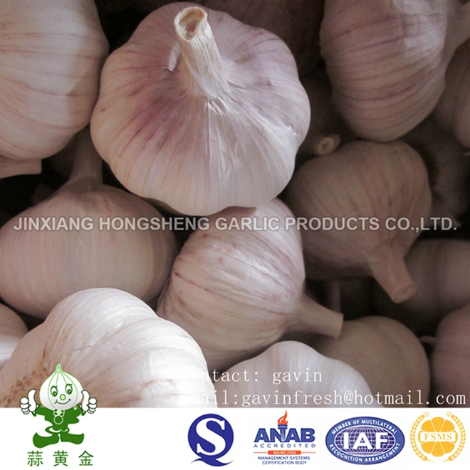 Normal White Garlic in 10kgs Carton Box Loosely Packing