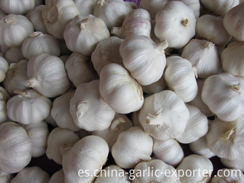 Snow white garlic from jin xiang