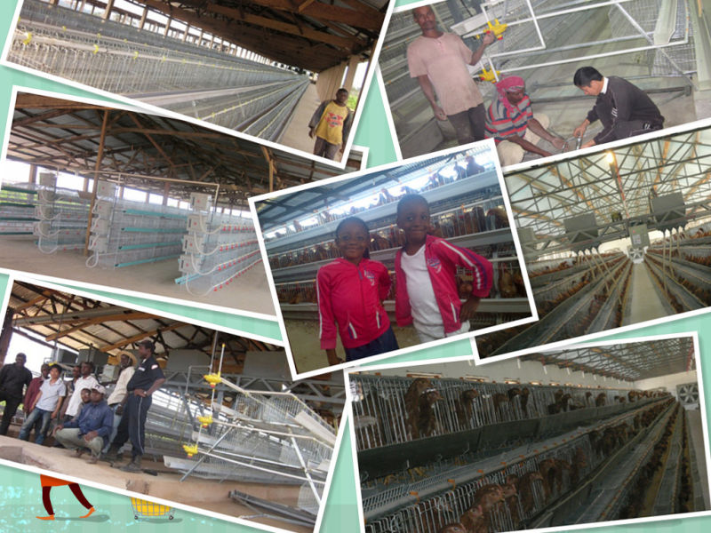 Automatic Layer Chicken Cage