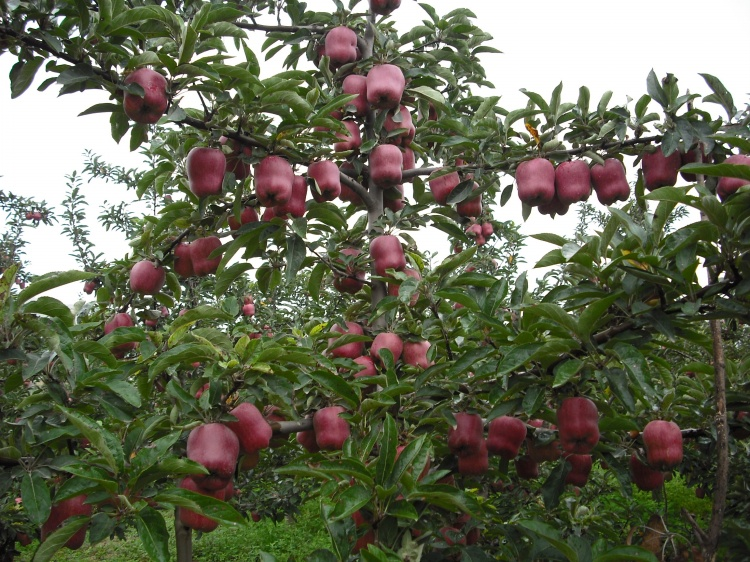 2016 New Fresh Red Star Apple with Good Quality