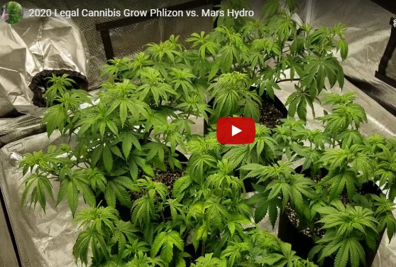 Legal Cannibis Grow Phlizon LED Light much better than Mars Hydro