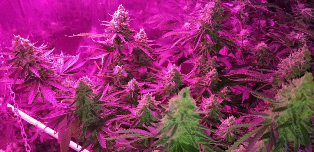 Cannabis Grow Light