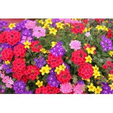 Sale Verbena Flower Seeds