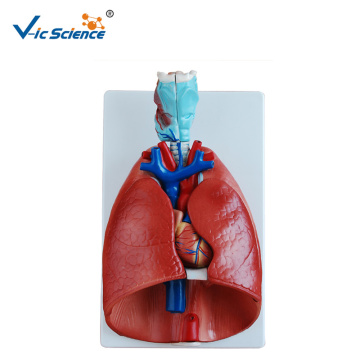 Medical Education Model Larynx Heart And Lung Model