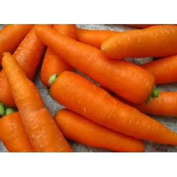 jumbo carrot for exporting