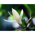 Michelia Leaf Essential Oil in the bedroom