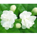 Jasmine essential oil that can relieve menstrual pain