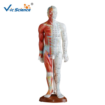 Acupuncture Muscle Model 55CM