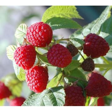 Bulk Organic Red Raspberry Seed Essential Oil