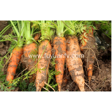 Small size  fresh carrots