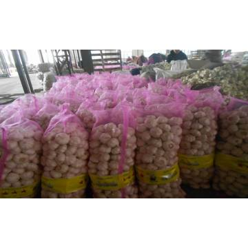 fresh whole garlic export to Srilanka