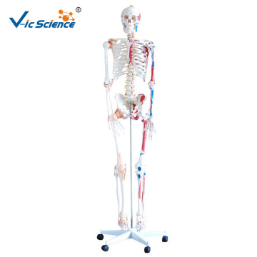 180CM Skeleton with Muscles and Ligaments 180CM Tall