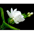 Jasmine essential oil to care for the skin