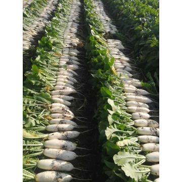 Hot Selling Fresh Radish
