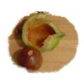Raw Macadamia Hawaii Nut, Queensland Nut Seed Package,50 pcs Seed without Green Shell Hawaii,Crispy Plant