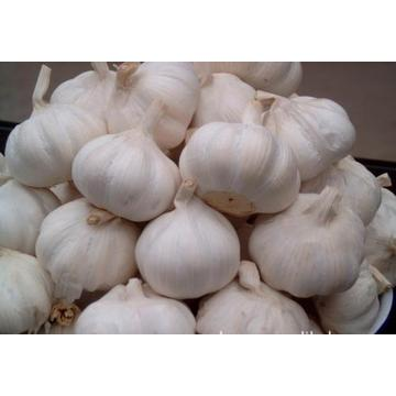 Wholesale New Crop Garlic