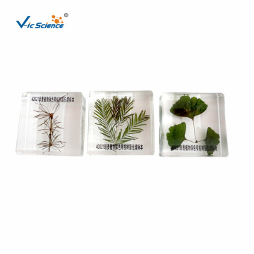 Three Precious Plants Specimen