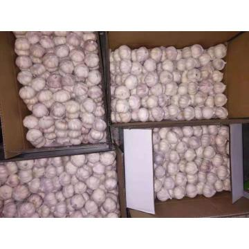 5.5cm factory pure white fresh garlic price/garlic bulk
