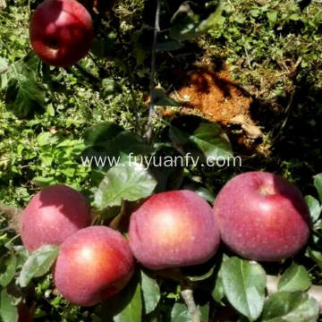 High Quality Fresh New Crop Fuji apple