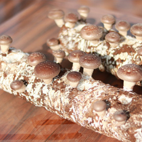 Mass -produced 100% organic shiitake mushroom spawn