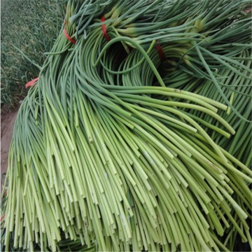 Chinese fresh garlic moss