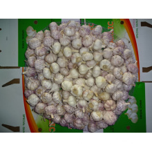 Normal Garlic In Size 5.0